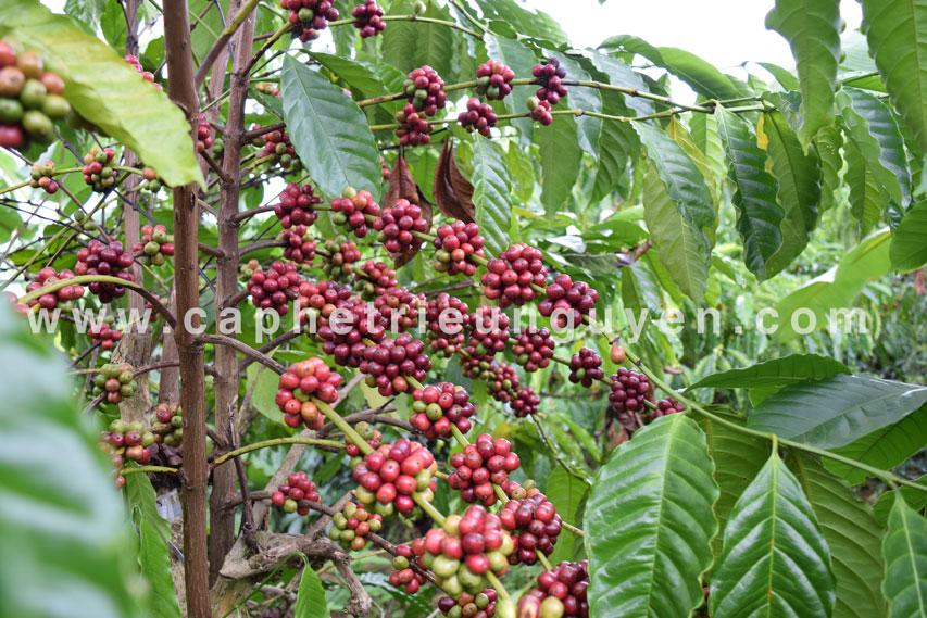 cà phê tươi lâm đồng
